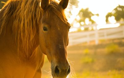 The Effectiveness of Equine Therapy – a student nurse perspective